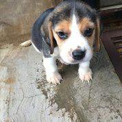 Anjing Beagle Puppy Pure