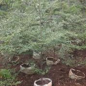 Tukang Pohon Ketapang Kencana | Pohon Bibit Ketapang