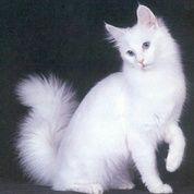 Kucing Anggora Umur 4bulan