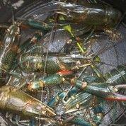 Indukan Lobster