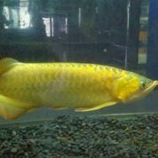 Ikan Arwana Super Golden
