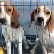 Sepasang Anjing Mini Beagle