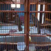 Sepasang Cucak Rowo Sumatra Indukan Berkualitas