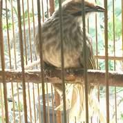 Cucak Rowo Ropel Sumatra Gocor Vool
