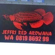 Jasa Operasi Ikan Arowana Arwana Super Red Golden Red Silver Albino Pino