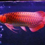 Ikan Arwana 25-27 Cm Super Red