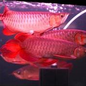 Ikan Arwana Super Red 25-27 Cm