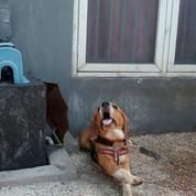Beagle Jantan STB