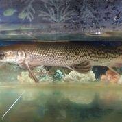 Ikan Aligator Panjang 50cman
