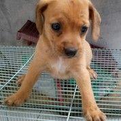 Anak Anjing Beagle Mix Kancil