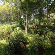 Kebun Teh Dan Cengkeh Pinggir Jalan Luas 4000 M2 Purwakarta Bojong