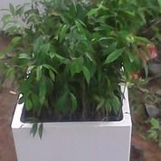 Bibit Gaharu Aquilaria Malaccensis Di Sumatera Utara