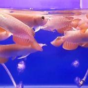 Arowana Arwana Dragon Fish Golden Red Silver Albino Banjar Red Super Red
