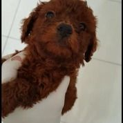 Red Toy Poodle Vaksin Lengkap Dan Stambum Masih Dalam Proses (Free Toilet Pad)