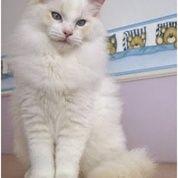 Kucing Anggora Sehat