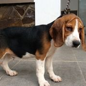 Beagle Puppies Show Quality