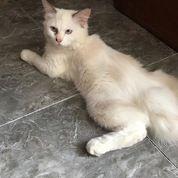 Kucing Anggora Medium Usia 6 Bulan