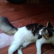 Kucing Anggora Lucu Pisan