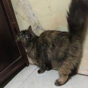 Kucing Anggora Betina Usia 8bln.