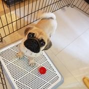 Anjing Pug -- Jantan