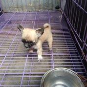 Anak Chihuahua BETINA Chiwawa Cihuahua Long Coat Hair