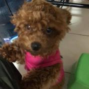 Anjing Poodle Betina Lucu Dan Aktif