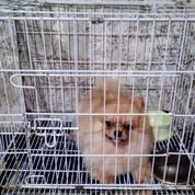 Anjing Pom Jantan Sertifikat Stambum Vaksin