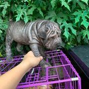 Anjing Chinese Sharpei