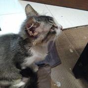 Kucing Anggora Murah
