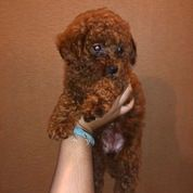 Red Toy Poodle Mini