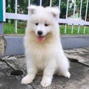 Anjing Samoyed 2 Bulan