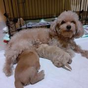 Anjing Jenis Tiny Dan Mini Poodle Jantan Dan Betina Sangat Lucu Sekali