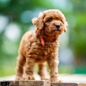 3 Male Red Toy Poodle Good Quality
