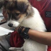 Anjing Puppy 2-3 Bulan Murah Kondisi Sehat