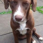 Anak Anjing Mix Pitbull Labrador Btn 6 Bulan