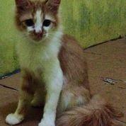 Kucing Anggora Usia 6 Bulan