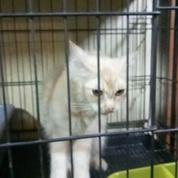 Kucing Anggora Jantan