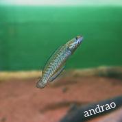 Ikan Channa Andrao