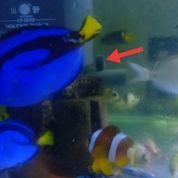 Ikan Hias Air Laut - Dorry (5-7cm)