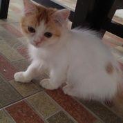 Anggora Kitten 3 Bln