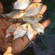 Bibit Ikan Bawal Yg Minat Wa Gan