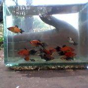 Ikan Platy Pintail