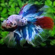 Ikan Cupang Hias Berkualitas Halfmoon Galaxy Multicolour