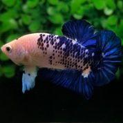 Ikan Cupang Hias Plakat Blue Rim Panda Galaxy