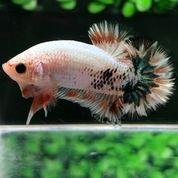 Ikan Cupang Hias Berkualitas Plakat Fccp Overtail
