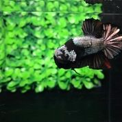 Ikan Cupang Hias Berkualitas Plakat Black Mamba Copper