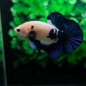 Ikan Cupang Hias Berkualitas Plakat Blue Rim