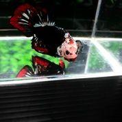 Ikan Cupang Hias Berkualitas HMPK Dracula Copper