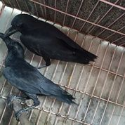 Burung Gagak Hutan Liaran Engkak
