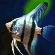 Suplayer Ikan Hias